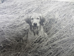 Wrinkles, a 2 1/2 month old golden retriever puppy sits in tall grasses