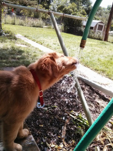puppy drinking from a hose