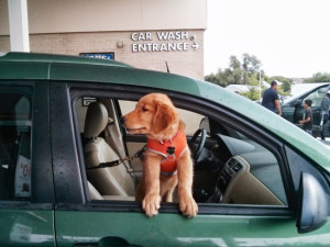 Bender, golden retriever puppy, in a harness with his paws on the window sill looking out the car window