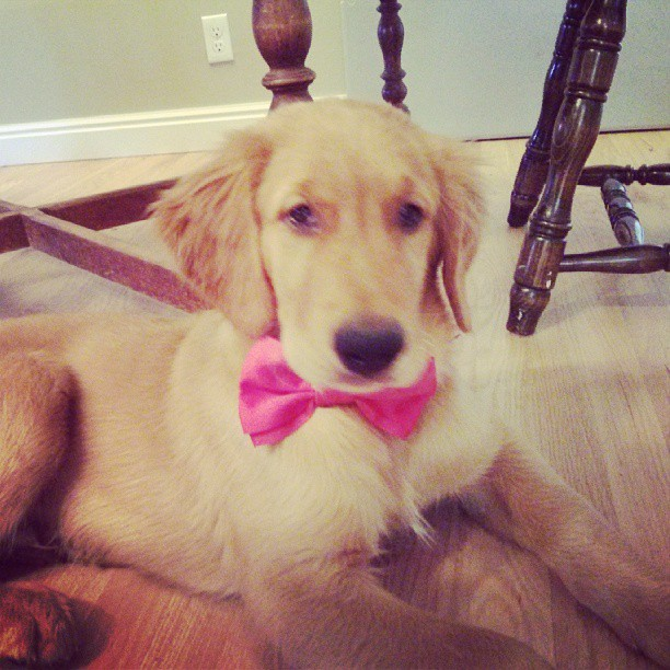 Bender, a golden retriever puppy, wearing a dapper bowtiw