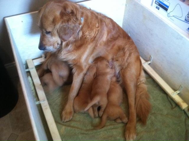 Brady sits nursing her six golden retriever puppies in the whelping box