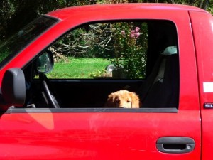 Brady, an 8 week old golden retriever puppy in a red pick up truck headed to her new home.
