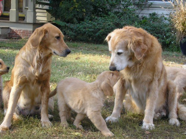 Bailey, a golden retriever mother, looks on as her father, Suds greets her tiny puppy.