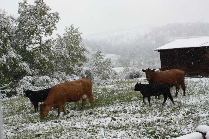 cows grazing in the snow with mountains in the background