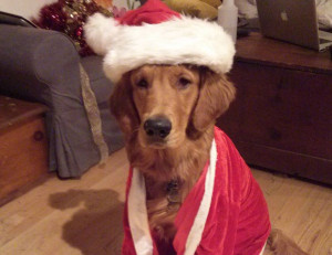 Bender the Golden Retriever dressed up as santa claus for Christmas