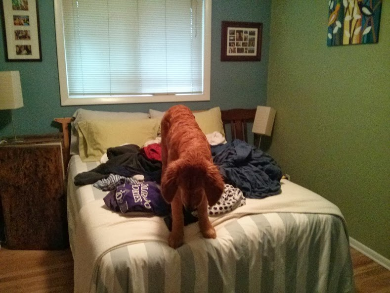 Bender the Golden Retriever on a bed full of clean laundry.