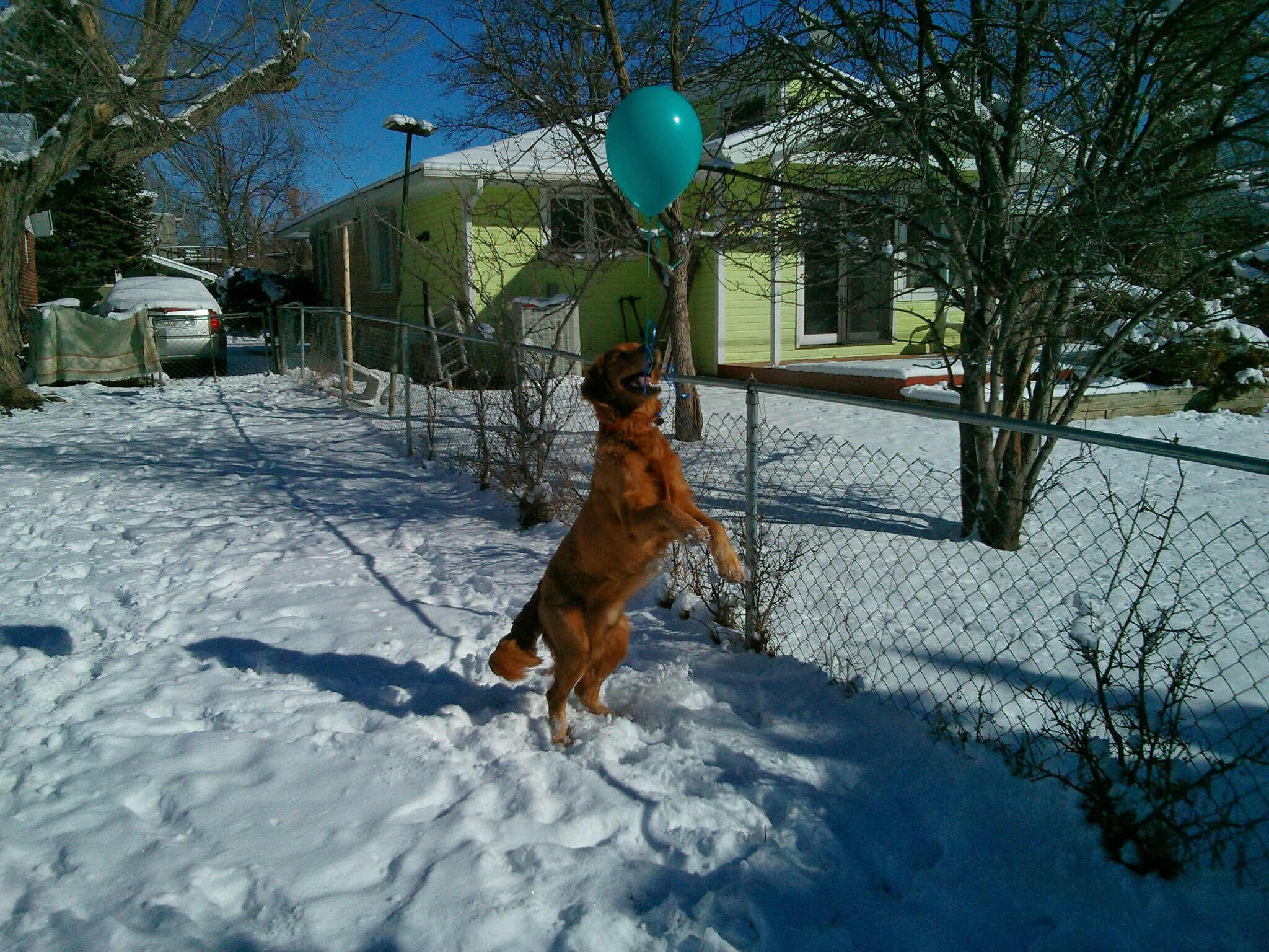 Bender the golden retriever jumps for the balloon