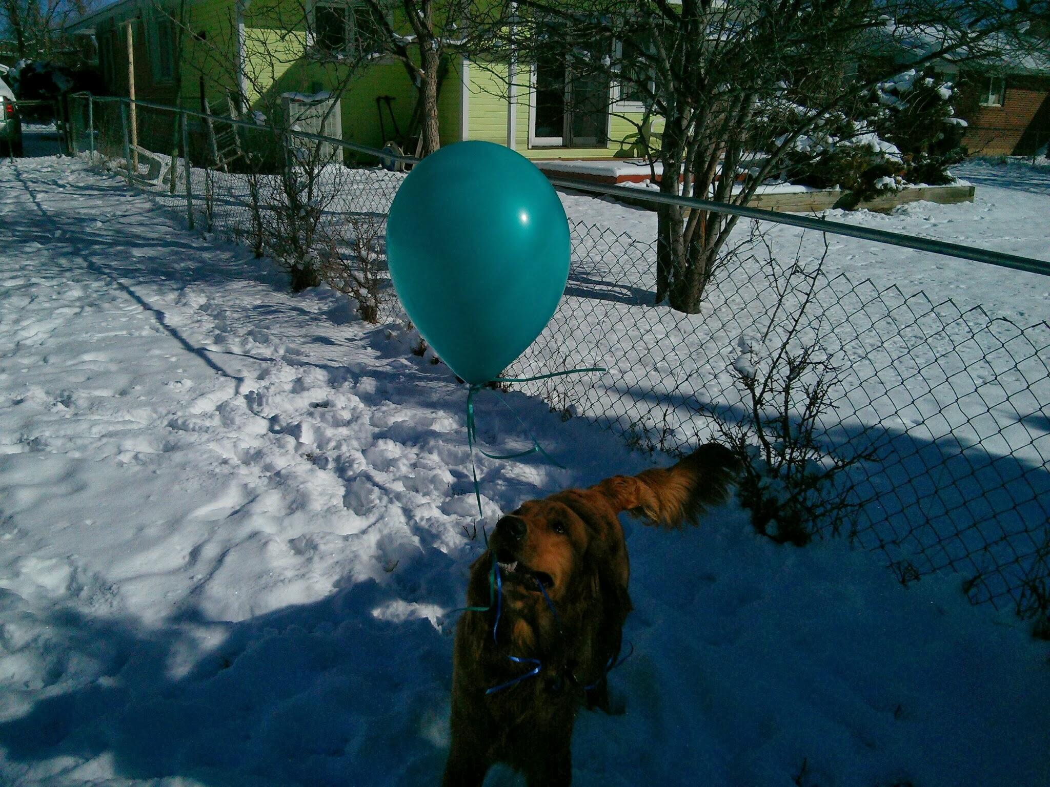 Bender the golden retriever gives the balloon a dirty look